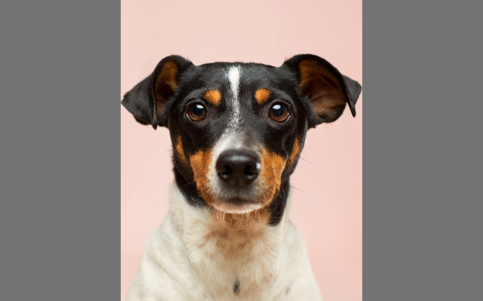 White Jack Russell terrier with a black head portrait on pink background original photo by Victor Grabarczyk