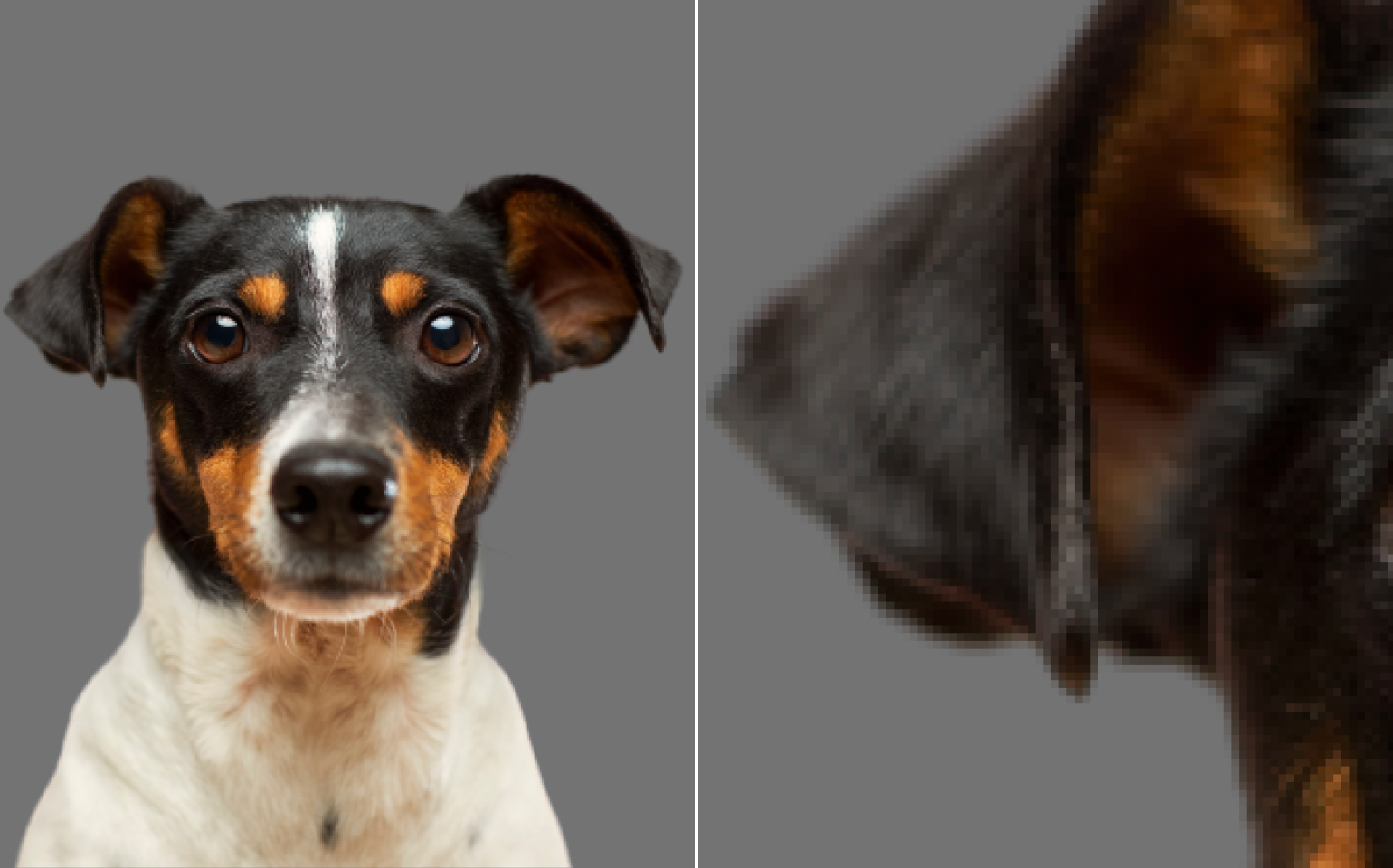 Collage with cut background Jack Russell terrier dog and it's ear close up the result by Remove.bg